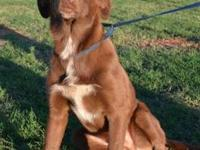 Chocolate Labrador Retriever - Scooby - Medium - Young