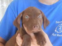 Chocolate Labrador Retriever - Spirit - Large - Baby -