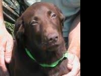 Chocolate Labrador Retriever - Stella - Large - Young -