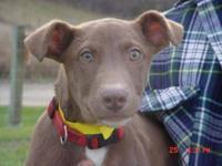 Chocolate Labrador Retriever - Taffy - Medium - Young -