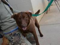 Chocolate Labrador Retriever - Toby - Medium - Young -