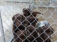 AKC Chocolate Labs 1 Male 1 Female remaining. Ready for