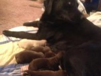 I have akc purebred chocolate labs for sale they were