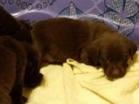 Akc Chocolate Labradors, these pups originate from
