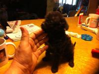 We have one chocolate male Chihapoo prepared for his