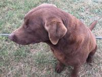 3 year old male chocolate laboratory trying to find