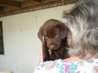 Akc Lab puppy Dob 4-7 2015 ready for his new home June