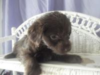 This gorgeous little yorkipoo has a gorgeous chocolate