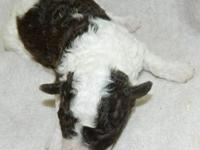 Born December 30, 2012 Chocolate Merle female. Parents