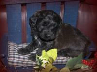 We have an adorable chocolate, mini Whoodle female for