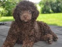 I have 3 male poodle puppies available. They were born