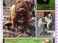If you have always wanted a bulldog now is your time. I