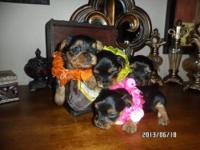 High quality REGISTERED Yorkie Puppies available now,