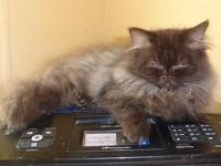 Chocolate Male Persian 12 wks old. Felv Fiv Pkd neg