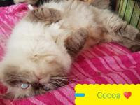Cocoa is a beautiful chocolate point Himalayan. She's