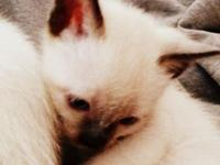 Are you looking to add a Chocolate Point Siamese Kitten