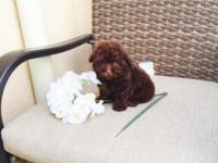 Gorgeous 9 weeks Dark Chocolate Pure Breed Poodles,