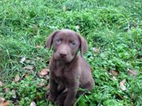 This chocolate lab has a mellow personality and gets