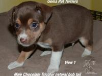 This is a male chocolate tricolor tuxedo puppy. He is 8