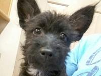 My story Chocolate is a 4 month old schnauzer/terrier