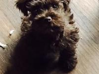 Rare chocolate schnauzer puppy. Only 5 lbs, 14 weeks