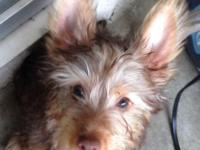 I have a 3 month old Chocolate Silky Terrier female
