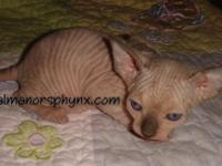 Darling little Elf-Sphynx girl  (straight ears)