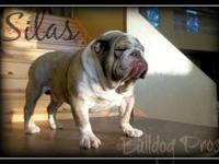 Bulldog Pros Silas, A Gorgeous Chocolate, Triple