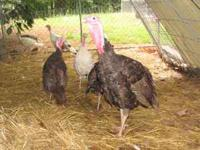 Rare, Chocolate Turkeys: 1 Tom, 2 Hens Hatched early