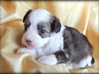 Lucretia - white & & chocolate powderpuff female - $500