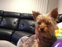 ONE YEAR OLD YORKIE FEMALE GREAT WITH KIDS AND OTHER