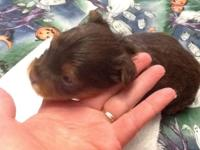 Akc reg chocolate male 3 weeks old. I think he will