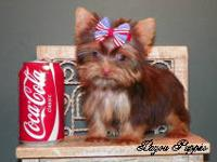 This is Risa a chocolate yorkie female that is being