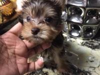 Chocolate yorkie male Nice dark coat Daddy is a parti