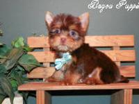 This is Max a chocolate yorkie male that is being