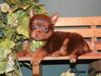 This is Reggie an adorable chocolate yorkie male that