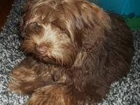 Gorgeous Lovable Yorkie Poo Puppy! 6 months old house