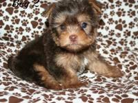 I have 1 male Chocolate biro carrier Yorkshire Terrier