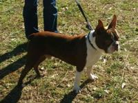 Young adult male Boston terrier. Very friendly, Great