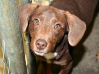 Chocolate Labrador Retriever - Kenny-25 Lbs - Small -