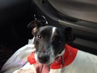 6 year old, male (neutered) Jack Russell requires a