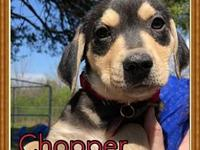 Chopper's story Meet one of these adorable lab/hound