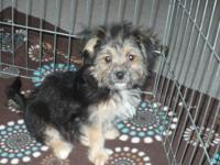I have one male Chorkatese puppy (TOYSIZE SIZE). Puppy