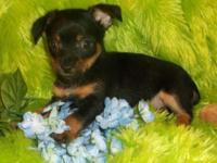 I call him Strait. He is a Chorkie. Mommy is a 6 pound