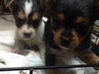 I have two female puppies 7-8 wks old . Mama is