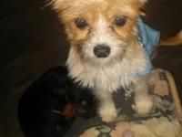 I have a Chorkie (Chihuahua/ Yorkie) mix. His name is