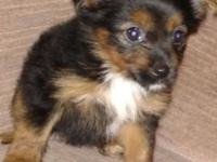 Beautiful 4th generation chorkie looking for her