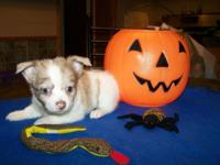 Beautiful long coated Chorkie -Chi babies , 4 left ,
