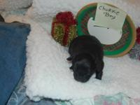 I have a female chorkie that I am placing in new home