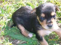 A chorkie is a Chihuahua mixed with yorkie , a fully